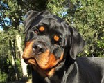 ROTTWEILER CRISTAL FROM PRIMO'S IMPERIUM