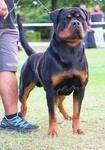 ROTTWEILER AXEL FROM PRIMO'S IMPERIUM