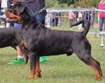 ROTTWEILERS AXEL FROM PRIMO'S IMPERIUM